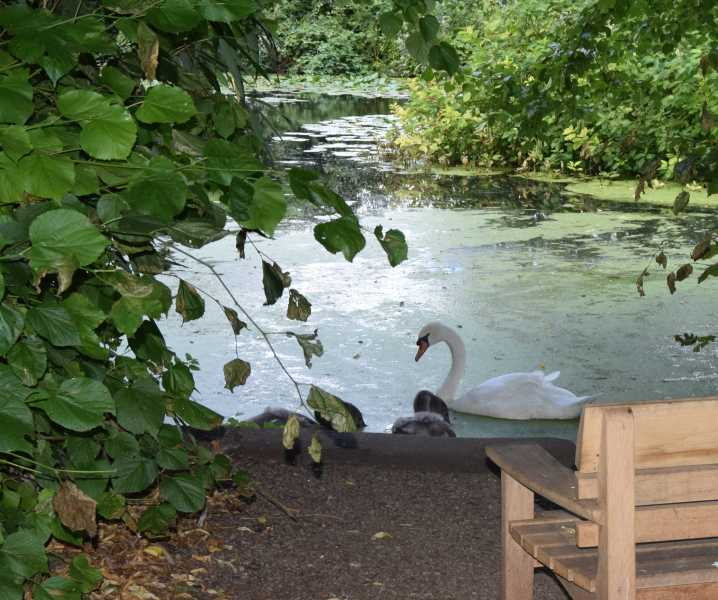 Swans on the lake in the grounds.